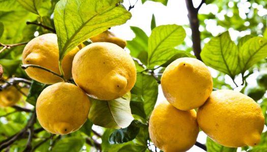 Почему нельзя употреблять в пищу лимоны с кожурой?